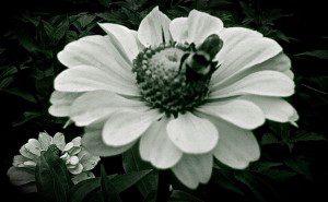 Daisy Bee