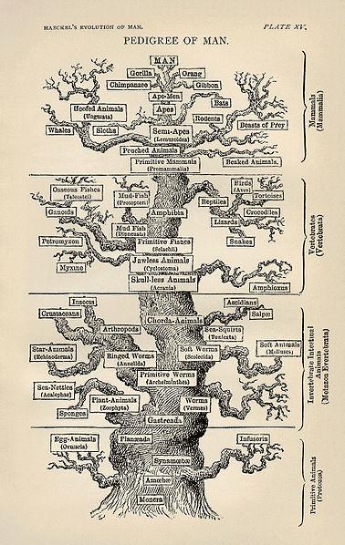 378px-Tree_of_life_by_Haeckel.jpg