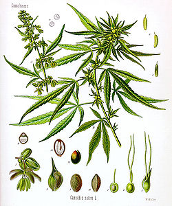 250px-Cannabis_sativa_Koehler_drawing.jpg