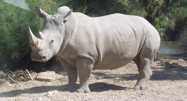 Rhinocéros_blanc_JHE