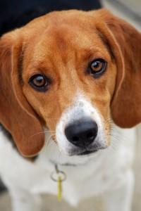Miracle Beagle