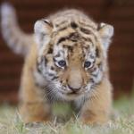 Dog Raises Siberian Tiger Cubs