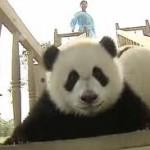 Pandas Playing on a Slide