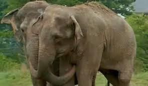 shirley and jenny elephants