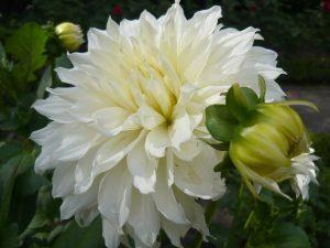 Dahlia_'White_Perfection'_1