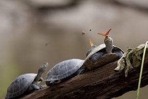 A_butterfly_feeding_on_the_tears_of_a_turtle_in_Ecuador