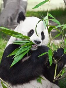 La sangre del oso Panda podría albergar el antibiótico del futuro