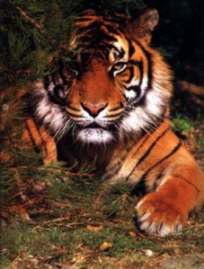 Let your inner tiger out!