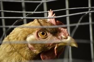 1387164_chicks_in_the_farmyard_1