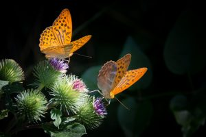 silver-bordered-fritillary-butterfly-nature-orange (1)