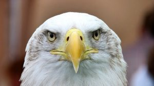 white-tailed-eagle-adler-bald-eagle-close-53151