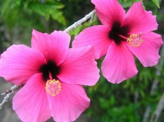 pink hibiscus2.jpg