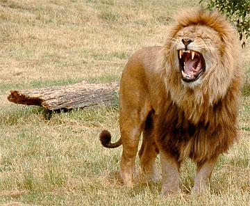 lion-roaring-5.jpg
