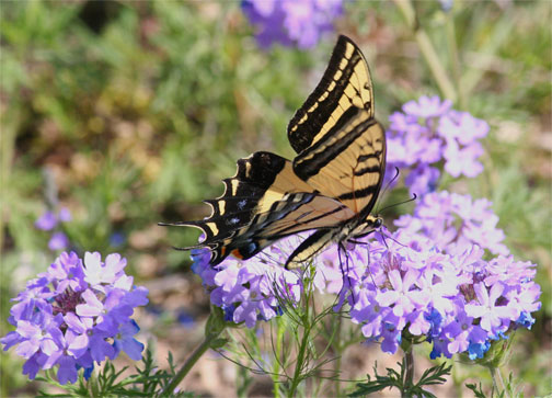 Swallowtail Butterfly on Praire Verbena